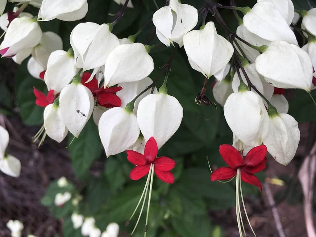 grow Bleeding Heart Vine