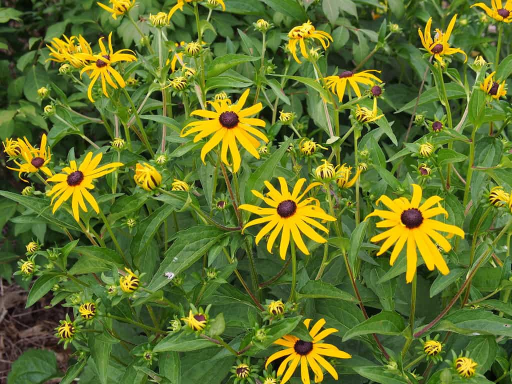 Black-eyed Susan Goldsturm