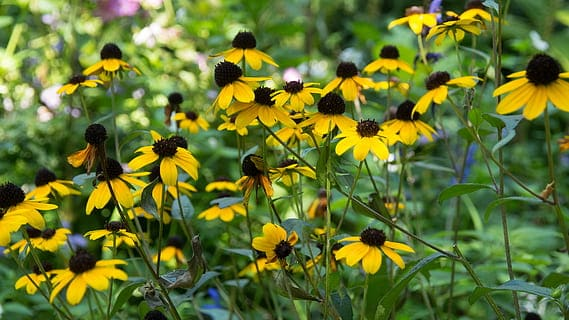 how to grow black eyed susan vine
