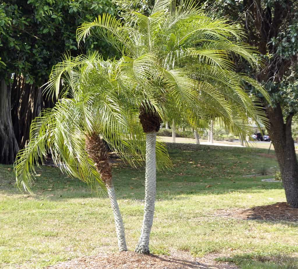 how to propagate how to grow pygmy date palm