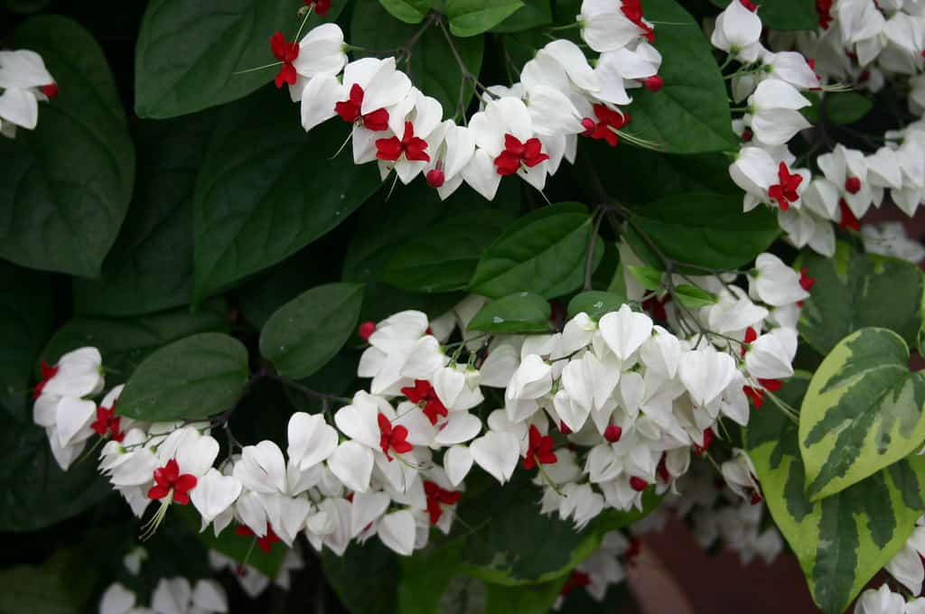 How to Grow Bleeding Heart Vine