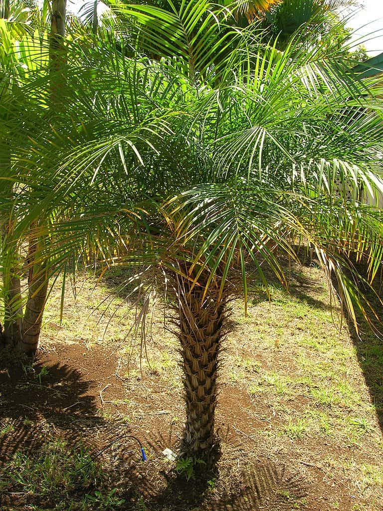 how to grow pygmy date palm