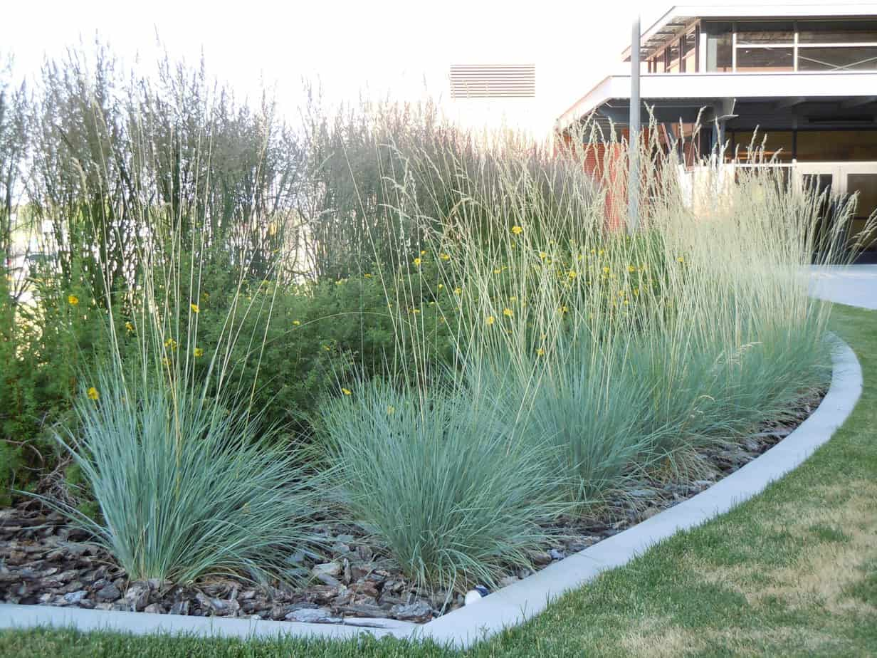 grow and care (Helictotrichon sempervirens)
