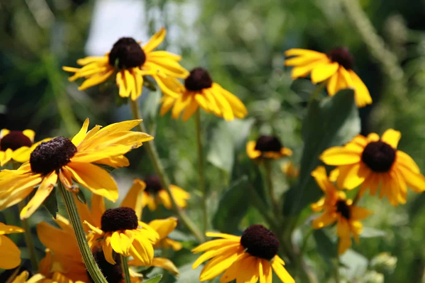 Black-eyed Susan 'Indian Summer'