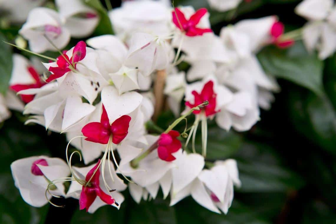 bleeding heart vine plant