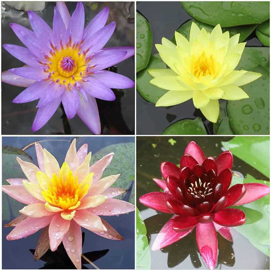 Water Lily info