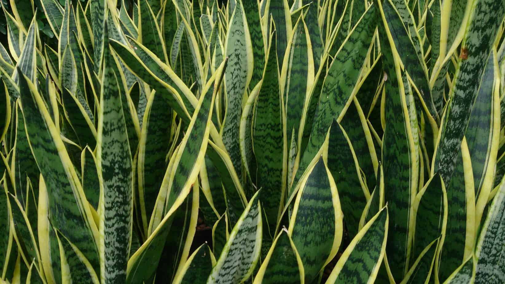 Is Snake Plant Poisonous to Dogs