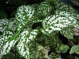 How to Prune Polka dot Plant - Trimming Hypoestes
