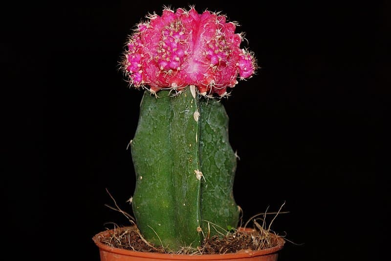 gymnocalycium mihanovichii Moon Cactus care growing