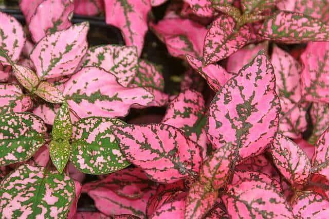 pink polka dot plant