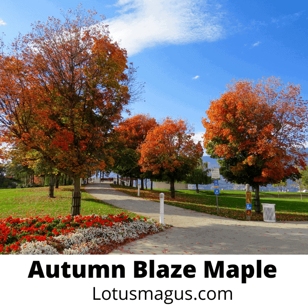 How long does it take for an autumn blaze maple to grow?