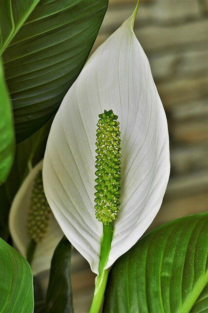 Best Potting Soil for Peace lily
