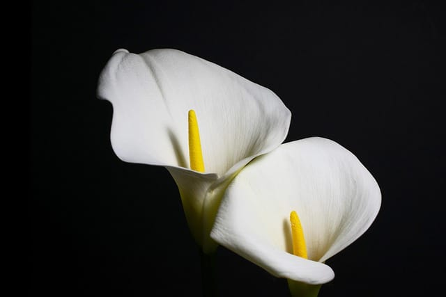 Calla Lily Leaves Turning Yellow