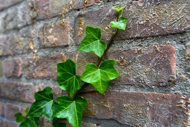 What does Ivy symbolize