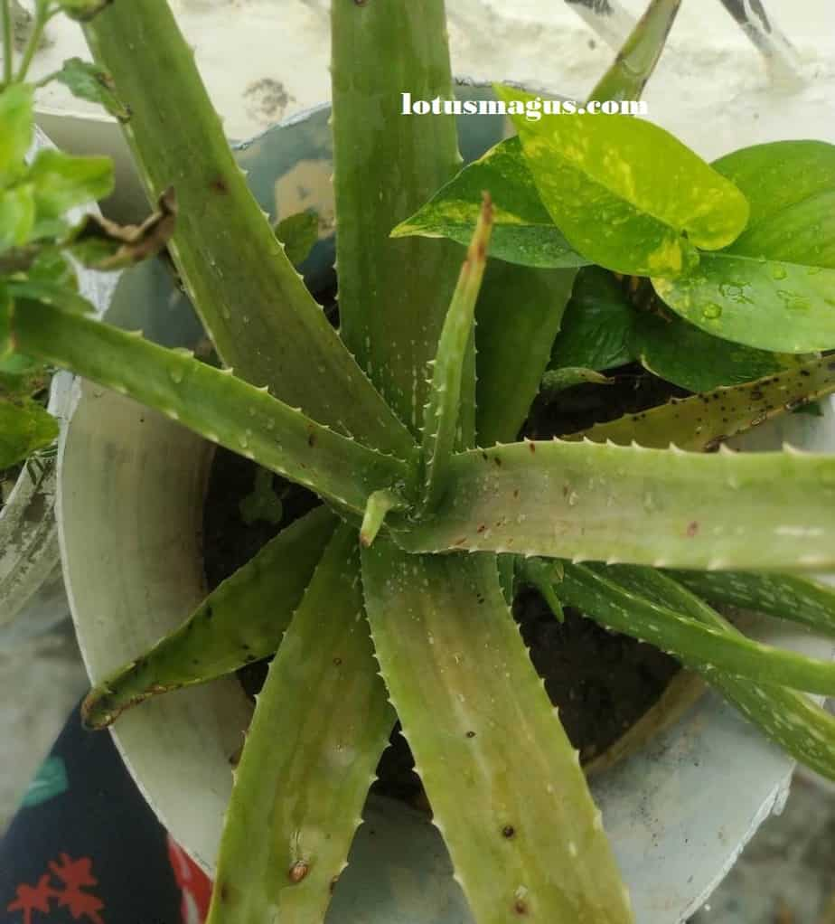 What does the flower of an aloe plant look like